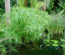Dwarf Umbrella Palm Koi Pond plants Cyperus Alternifolius Water Aquatic Marginal