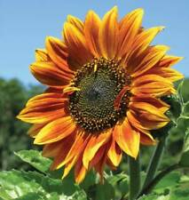 Beautiful Autumn Sunflower Fresh  Seeds From Canada (25 Seeds)