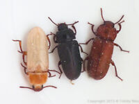 Live Mealworm Beetles *COLONY STARTER PACK*