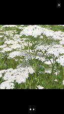 2+3 Live White Yarrow - Achillea millefolium - Medicinal - Mosquito Repellant