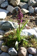 Dactylorhiza incarnata, fleischfarbenes Knabenkraut, winterhart, ca. 200 Samen