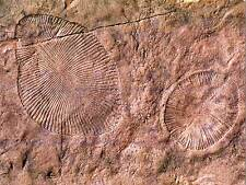 Foto de ciencia Arqueología Dickinsonia Ediacaran biota arte cartel de Fossil CC4233