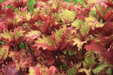 Coleus, Henna – 12oz Pot