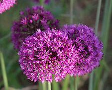 5, 25 oder 50 Allium Purple Sensation Zierlauch Blumenzwiebeln Lieferbar 9.9.20