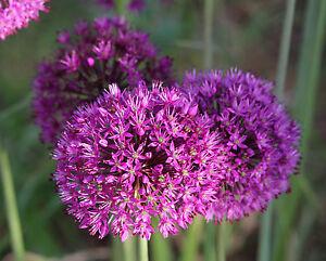 5, 25 oder 50 Allium Purple Sensation Zierlauch Blumenzwiebeln Lieferbar 9.9.21