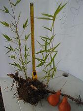 PIANTINA di BAMBU con radice e rizoma senza vaso altezza 30-40 cm