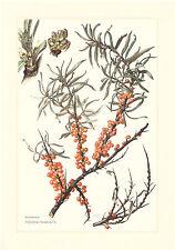Sanddorn  -  Hippophae rhamnoides -  Sandbeere Seedorn       Farbdruck 1959