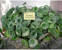 Peperomia sandersii Seeds 100 Piperaceae Evergreen Ornamental Home Garden Potted