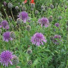 Wildflower Seeds - Greater Knapweed - 100 Seed