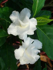 Gardenia jasminoides CAPE JASMINE❋100 SEEDS❋Very Fragrant White Flowers