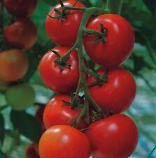 Tomato - Shirley - 15 Seeds