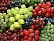 12 Grape CUTTINGS - Mixed Varieties from Malta - Unique Mediterranean Heirloom