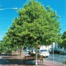 100 x TULIPWOOD Harpullia pendula native tree seedling plants in 50x120mm pots