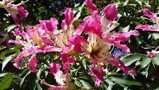 CHORISIA SPECIOSA vq albero bottiglia Falso kapok pianta Silk Floss tree plant