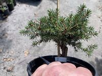 Japanese Momi Fir Abies firma rare conifer gymnosperm spruce tree heat tolerant