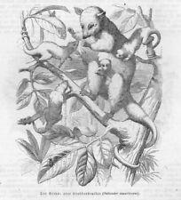 Gray Four-eyed Opossum & another Opossum Marsupial Mammal B&W wood block 1870