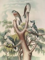 Studer's Birds -1878 - Birds Of North America Plate Original Chromolithograph