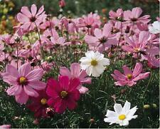 Wild Cosmos Seeds Sensation Mix 100  Seeds Cosmos bipinnatus