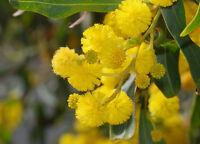 ACACIA SALIGNA alveolo 1 Pianta 1 Plant Mimosa marina