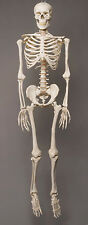 Harvey Life-Size Human Halloween Skeleton, Haunt Skeletons NEW