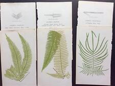 Botánico, Gleichenia flabellata & varios, helechos por Lowe c1859 Antiguo Original