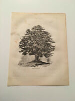 K81) View of Cedar at Hampstead London England Botany 1845 Engraving