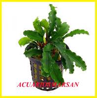 Planta de acuario,gambario,paludario.Bucephalandra crisped leaves. CERTIFICADO.