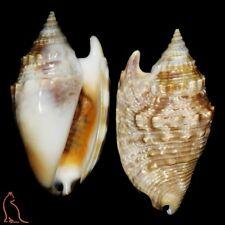 Strombus Euprotomus aurora, Madagascar, Strombidae sea shell