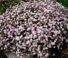 PINK CREEPING BABY'S BREATH Gypsophila Repens Ground Cover Perennial 200 Seeds