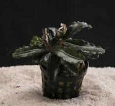 1 pot Bucephalandra theia  rouge tres rare nano bac  crevettes