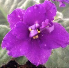 African Violet Plant- Heinz Aurora Australis