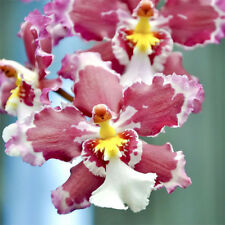 Orchid Acanthephippium Flower 36 Seeds Species (Type T14) Real Seeds