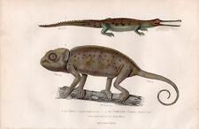 Gravure coloriée 1880. Le Gavial - Le Caméléon