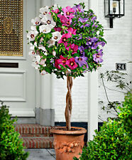 HIBISCUS SYRIACUS - IBISCO CINESE / ROSE OF SHARON, 20 SEMI COLORI MISTI
