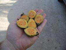 10 fresh seeds of Orange Flesh Guava (Psidium guajava) Rare Exotic Fruit Tree