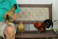 10+ Rare Variety Ginger Red Old English Bantam chicken fertile hatching eggs