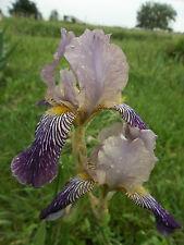 Intermediate Tall 1800'S Historic Iris Rhizome Fabian Light & Dark Purple