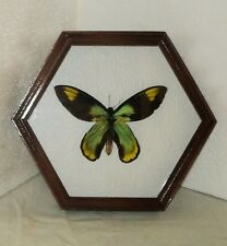Ornithoptera victoriae victoriae male in frame made of expensive wood.