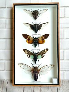 5 Large Cicadas Insect Display Box Frame Case Beetle Locust Bug Moth Taxidermy