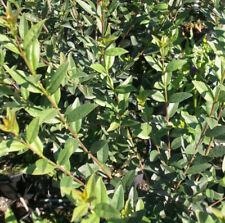 Ligustrum Strauchpflanzen mit mittlerem Wasserbedarf