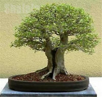 100pcs Hackberry Seeds Family Cannabaceae Chinese Hackberry Seeds Deciduous Tree