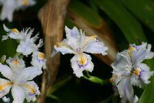 PIANTE IRIS JAPONICA radice nuda,foglie tagliate,fiore bianco e blu orchidea