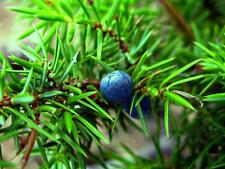 1 PLANT Juniperus communis GINEPRO CONIFER TREE GARDEN PLANT