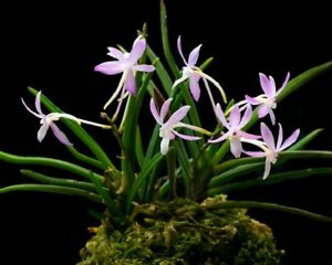 Orchid Vandoglossum Furuse (Neofinetia Fujimusume)