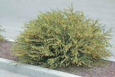 Pygmy Peashrub (Caragana pygmaea) 30 seeds