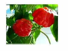 20 seeds Red Stuffing Scotch Bonnet pepper JUMBO great for stuffing!