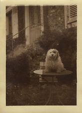 PHOTO ANCIENNE - VINTAGE SNAPSHOT - ANIMAL CHIEN TABLE BLAGUE GAG DRÔLE - DOG