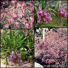 8 Grevillea Shirley Howie Hardy Native Garden Plants Hedge sericea x capitellata