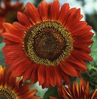 Flower Sunflower Red Sun Tall Giant Helianthus Annuus 2.5g Approx 100 Seeds