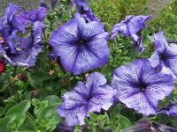 Petunia Seeds Daddy Blue 50 Pelleted Petunia Seeds